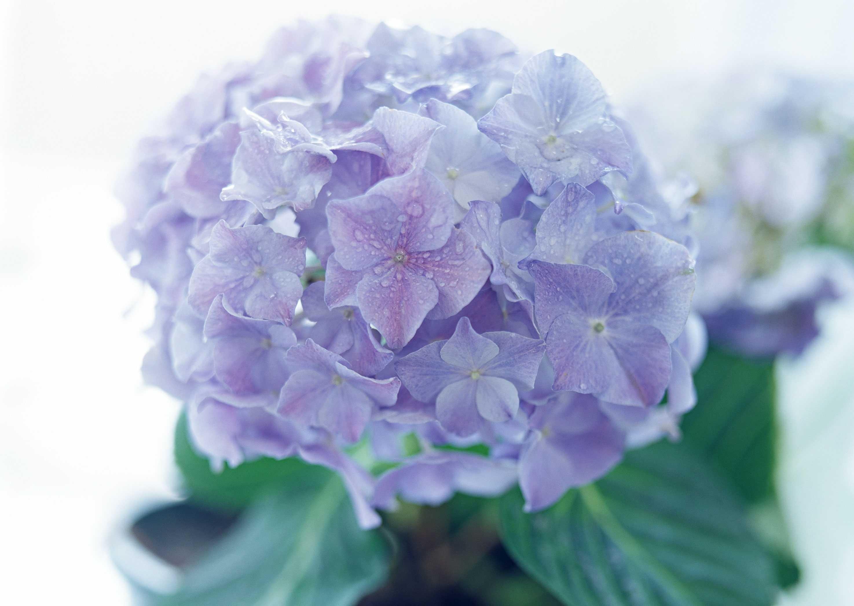 紫阳花之恋精选集