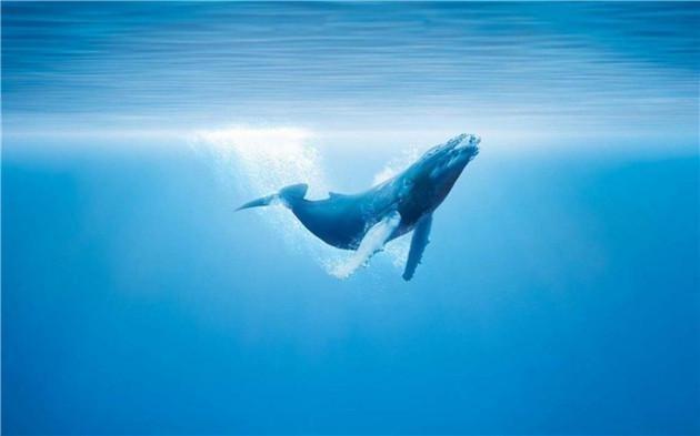 alice:世界上最孤独的鲸鱼