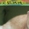 广州哪里有卖加菲猫